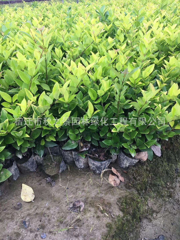 金森女贞基地直销 常绿灌木 园林色绿化色块苗 规格齐全 量大从优示例图8