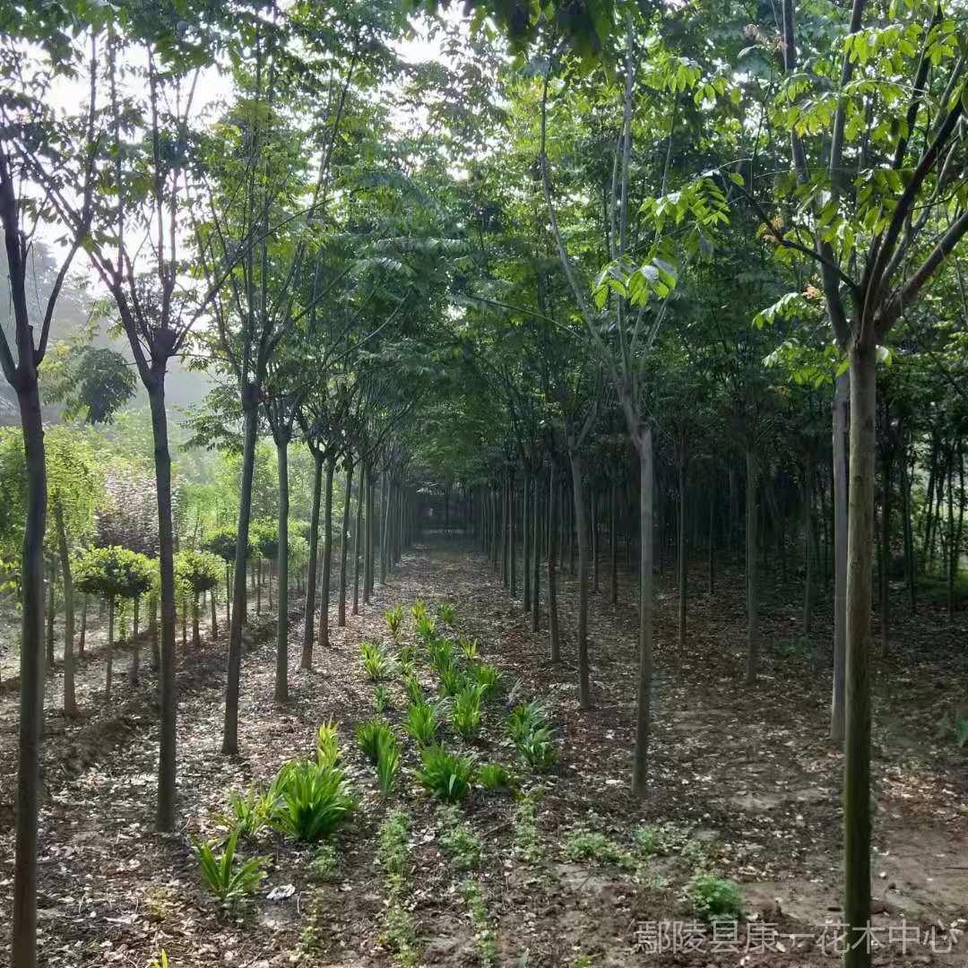 欒樹 黃山欒樹 10公分欒樹價格 苗圃出售欒樹  行道樹風景樹用樹
