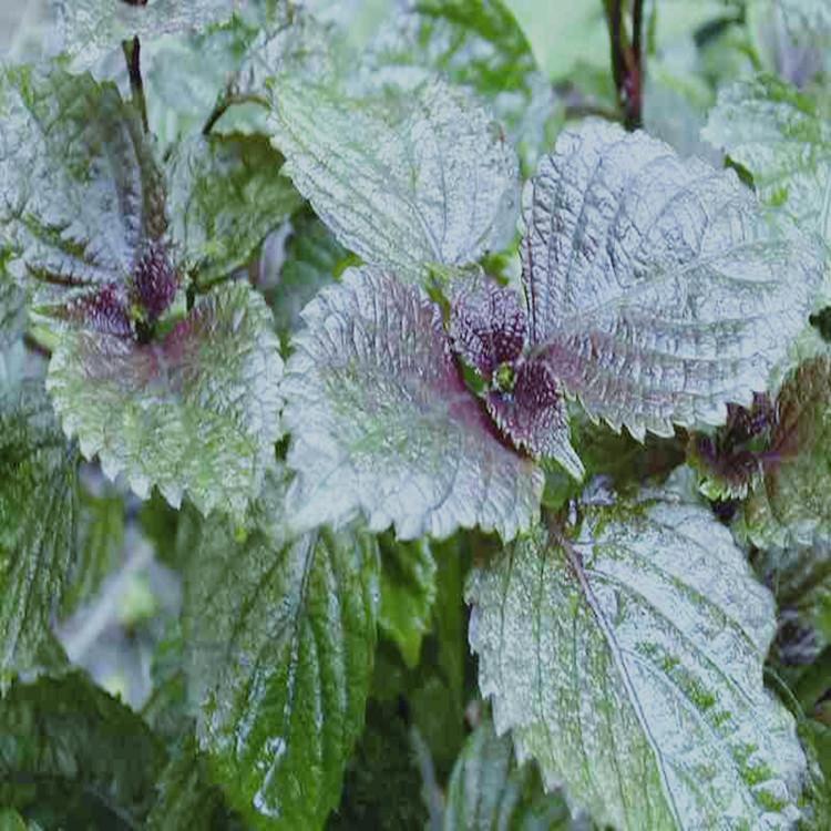 厂家红紫苏叶单方精油批发 纯天然植物红紫苏叶精油供应OEM加工