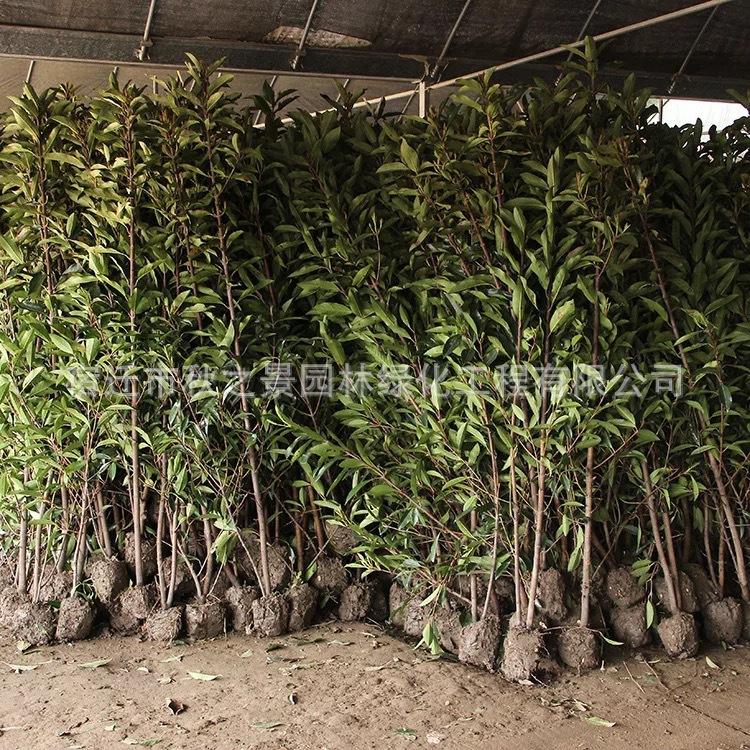法国冬青/珊瑚树基地批发 园林道路绿化绿篱法国冬青 规格齐全示例图4