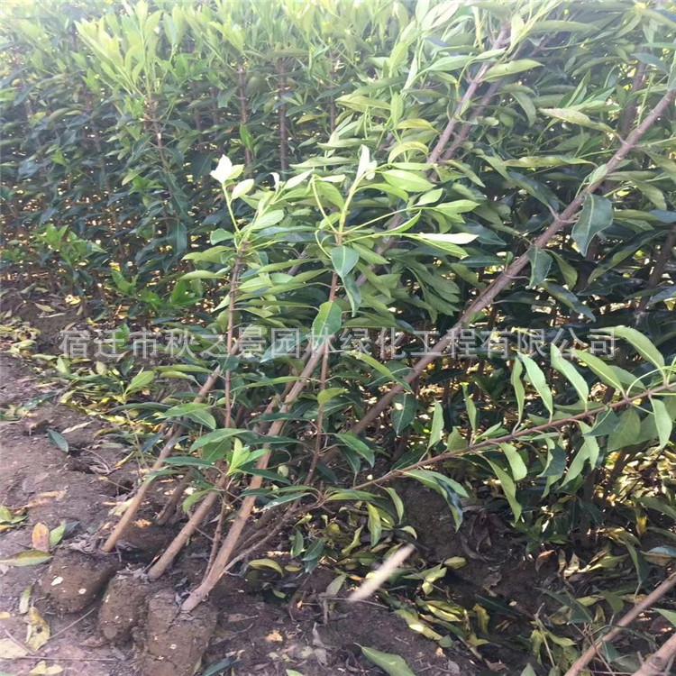 法国冬青/珊瑚树基地批发 园林道路绿化绿篱法国冬青 规格齐全示例图12
