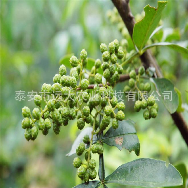優質無刺花椒樹 基地大量銷售 大紅袍花椒 九葉青花椒樹品種純正