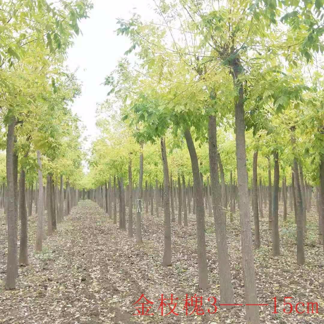 kangyi 金枝槐 5公分金枝槐 2米分支點 嫁接2年樹冠優美