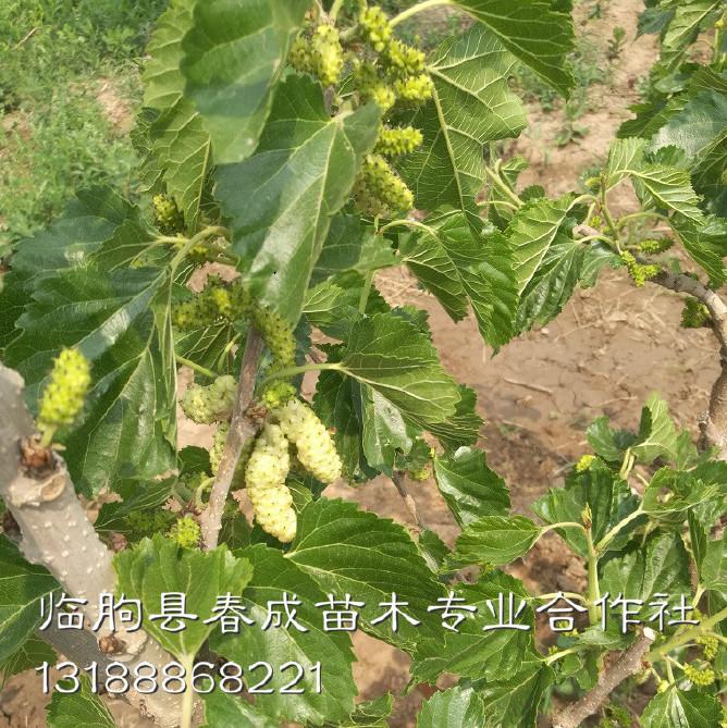 桑葚果树批发示例图14