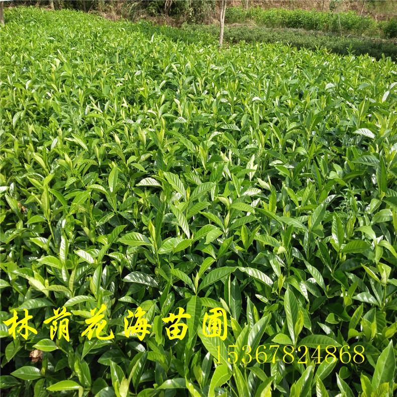 大量供应绿化工程苗木常绿灌木栀子花苗栀子花球冠20---