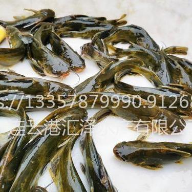 黄骨鱼苗黄�e颡鱼苗 汇泽水◆产大量供应 全国一片包发货