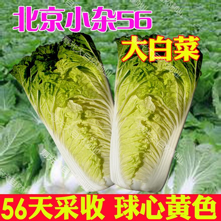 北京小杂56天然黄心白菜,小白菜种子,花椰菜,耐热性