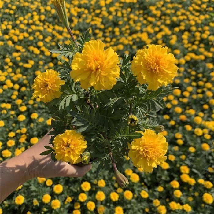 節慶用孔雀草 開花好的孔雀草 花卉組擺用孔雀草  芊色苗木