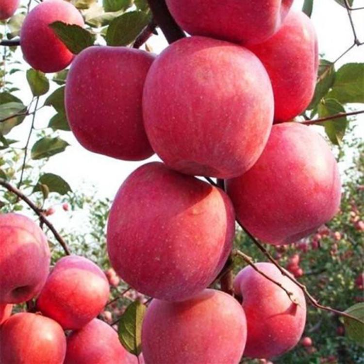 爱妃矮化苹果苗价格 高产苹果苗  苗圃大量出售 诚萱园艺
