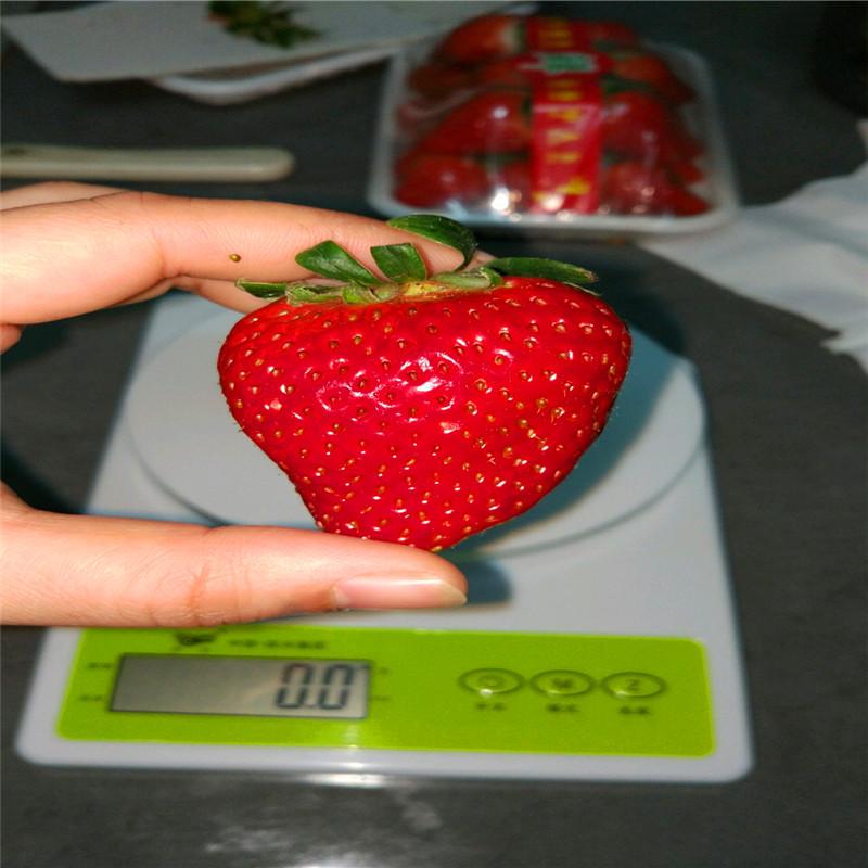 晶瑶草莓苗批发基地、奶油草莓苗价格、宝交草莓苗出售基地
