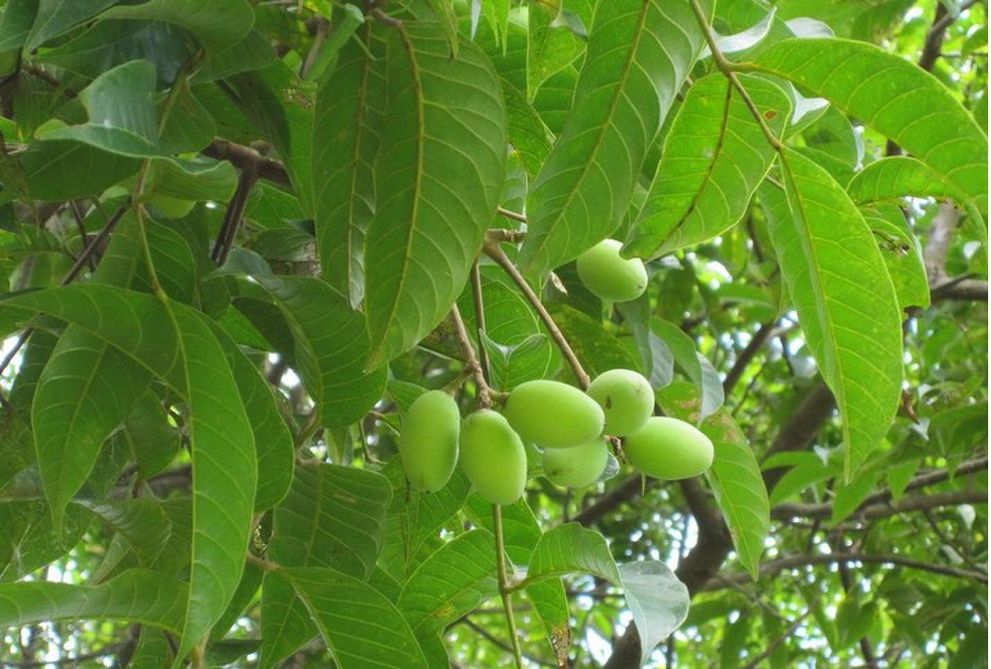 橄榄叶提取物橄榄苦甙40%示例图4