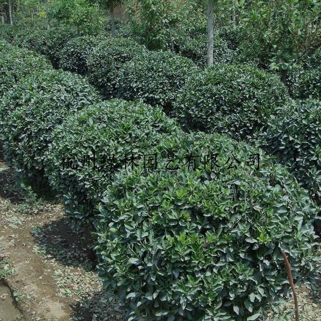 基地直銷優質 大葉黃楊球 大葉黃楊毛球等綠化工程生產批發配送。