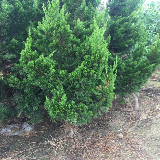 龙柏苗老字号批发 冠幅20 园林绿化 根系发达 1公分营养钵龙柏苗