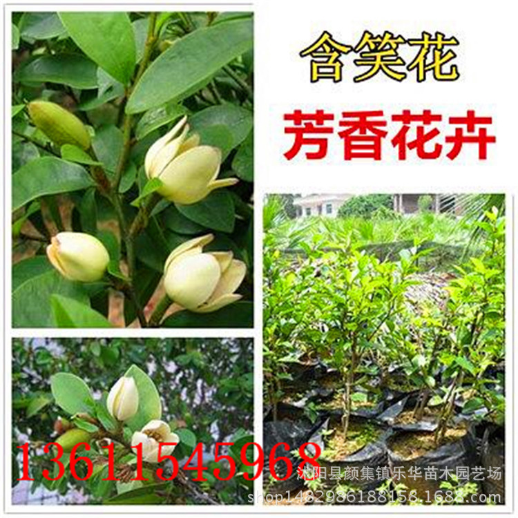 供应绿化苗木 含笑盆栽苗 含笑价格 规格齐全 易成活 价