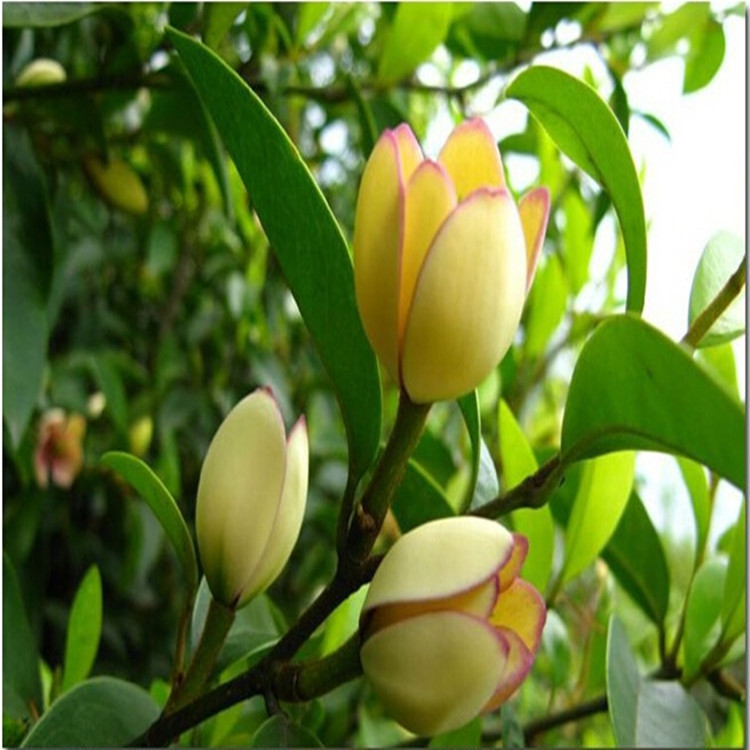 含笑花树苗批发香蕉花浓香花卉阳台庭院室内办公室盆栽浓香绿