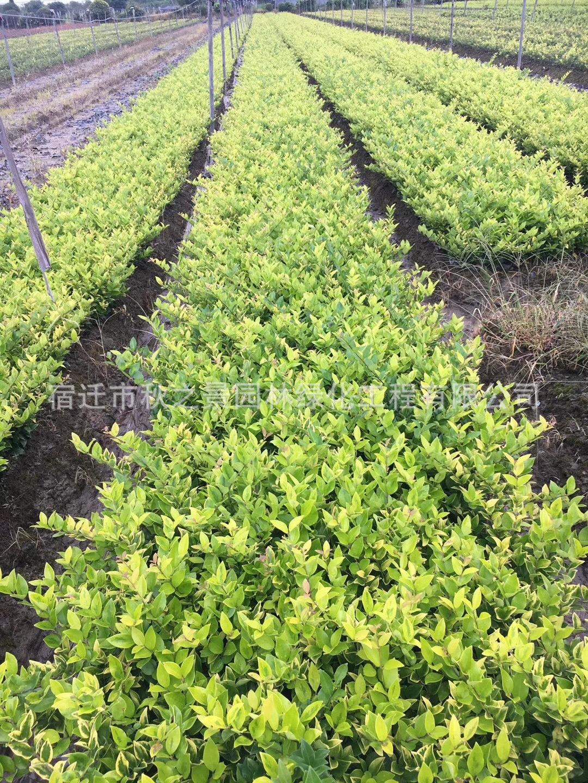 金森女贞基地直销 常绿灌木 园林色绿化色块苗 规格齐全 量大从优示例图7
