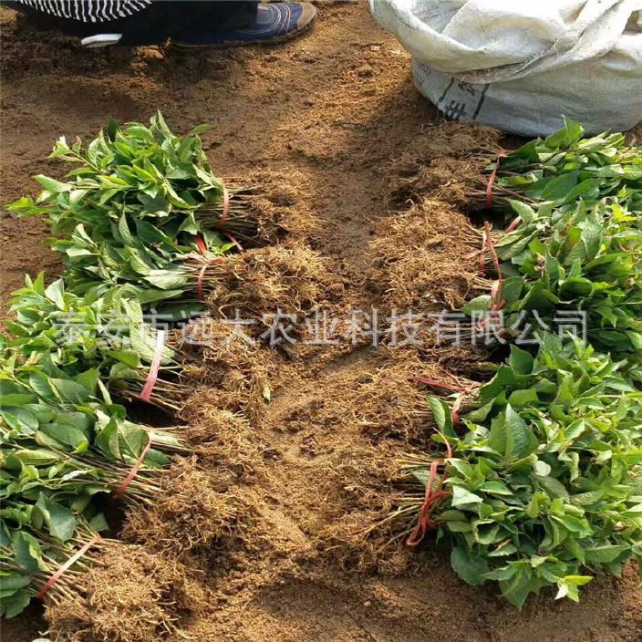 優質吉塞拉櫻桃砧木基地大量批發 歡迎選購 櫻桃樹 成活率高