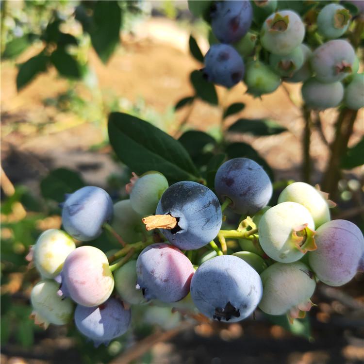 绿宝石蓝莓苗种植时间 新品种蓝莓苗规格齐全 天后蓝莓苗培育基地出售