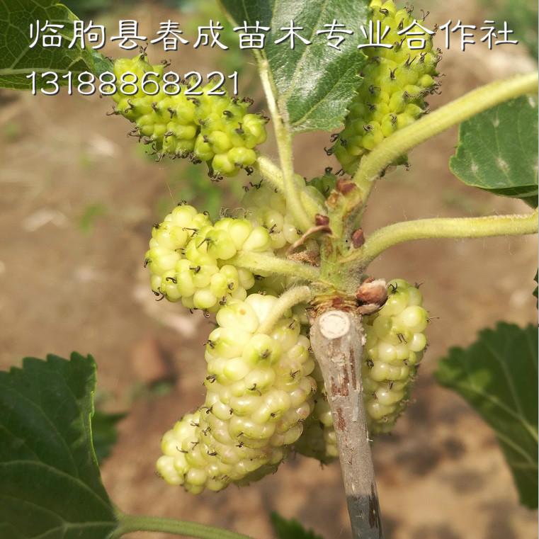 供应桂花蜜桑葚苗 优质高产桑葚苗示例图1