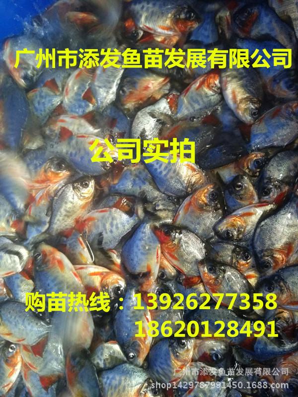 广州市添发鱼苗发展有限公司批发各种优质鱼苗 供应鱼苗示例图6