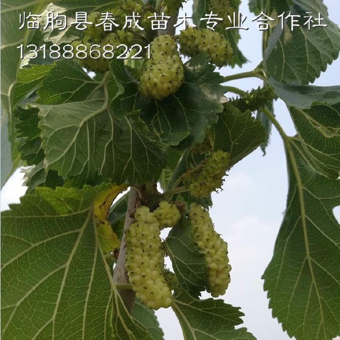 桑葚果树批发示例图11