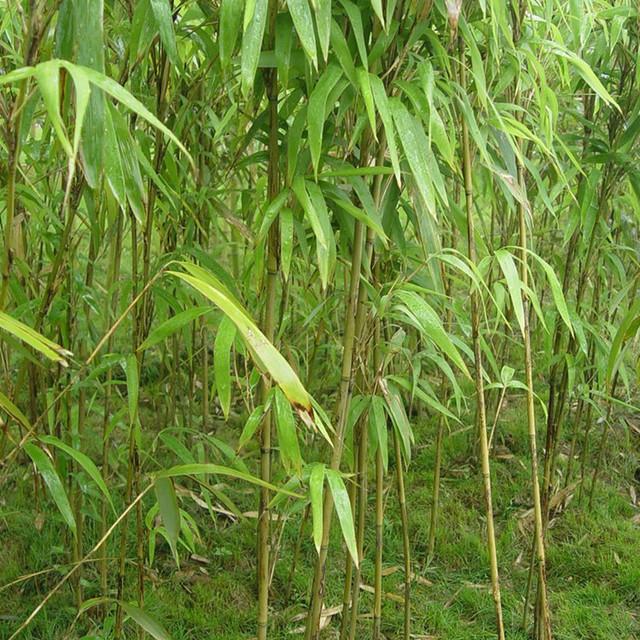 批發茶稈竹質量優可做魚竿韌性佳綠籬庭院觀賞綠化工程 芊色苗木