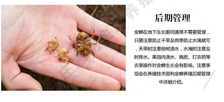 人工养殖知了 金蝉养殖新技术 金蝉怎么种植 人工养殖金蝉 金蝉的养殖技术示例图7