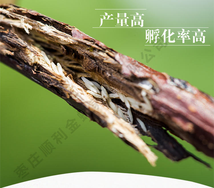人工养殖知了 金蝉养殖新技术 金蝉怎么种植 人工养殖金蝉 金蝉的养殖技术示例图1