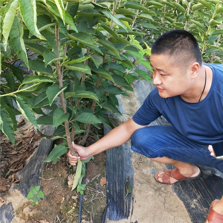 樱桃苗基地  新中苗木出售3公分 5公分果树苗 欢迎前来实地考察矮化樱桃苗