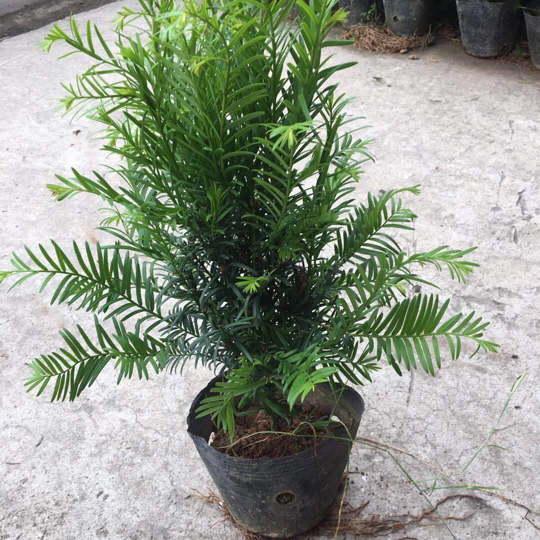 廠家急售40公分以上紅豆杉培育基地 紅豆杉品質有保證