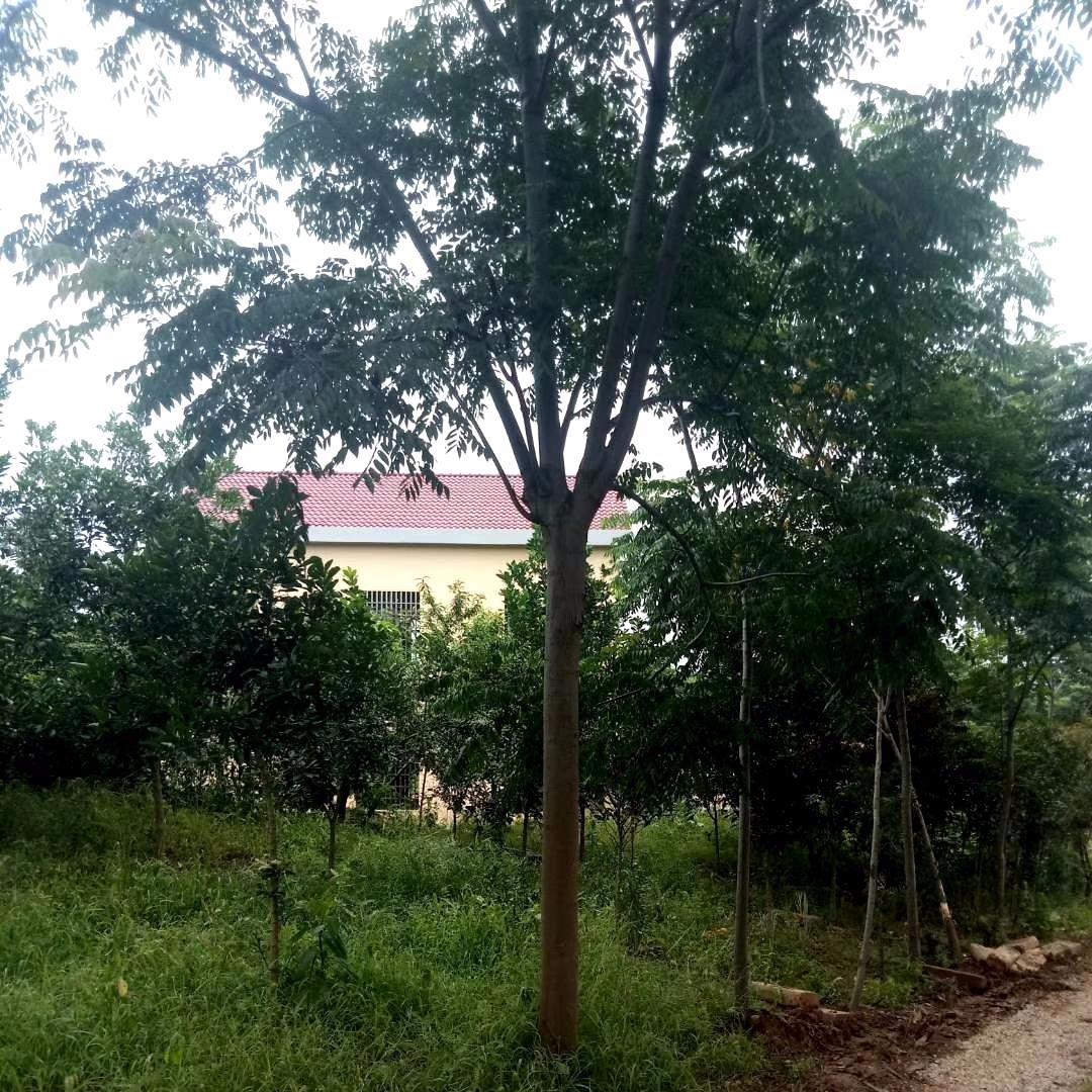 供應黃山欒樹,15公分欒樹行道樹,苗木基地精品樹形
