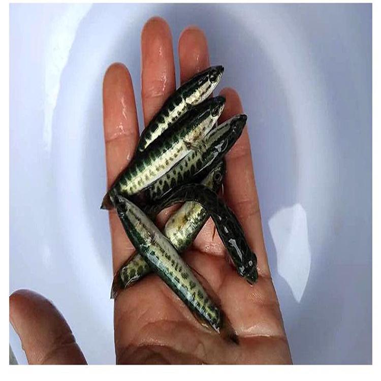 乌鱼苗 生鱼苗出售杂交生鱼 墨鱼