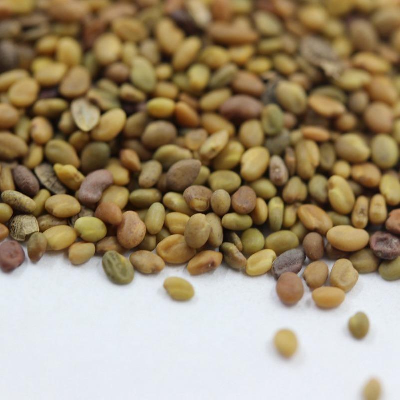 草木犀种子批发,一斤起发货