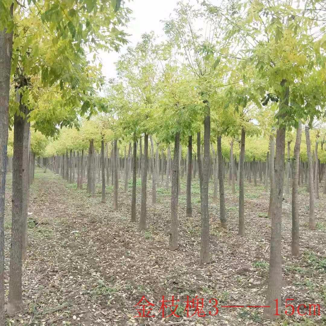 河南 kangyi 金枝槐基地 嫁接金枝槐510公分低價格出售 風景樹行道樹用苗
