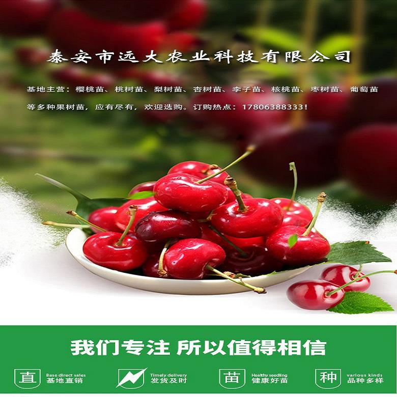新报价八号樱桃苗 樱桃苗基地  2019新春上市 远大园艺场