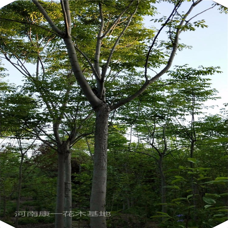 河南欒樹基地 kangyi 欒樹價格 行道樹用苗選欒樹