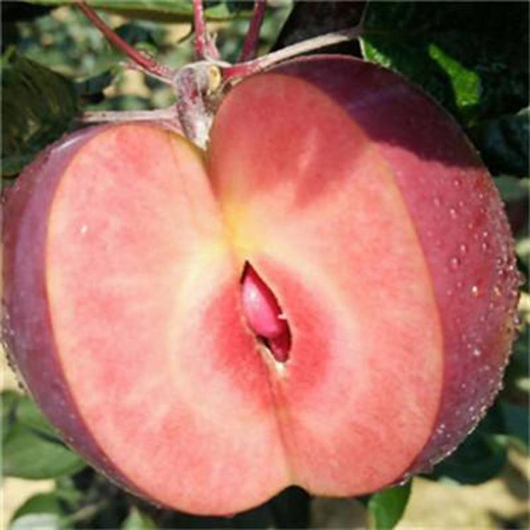 红肉苹果苗基地 长期出售红肉苹果苗  柱状苹果苗  茂源园艺