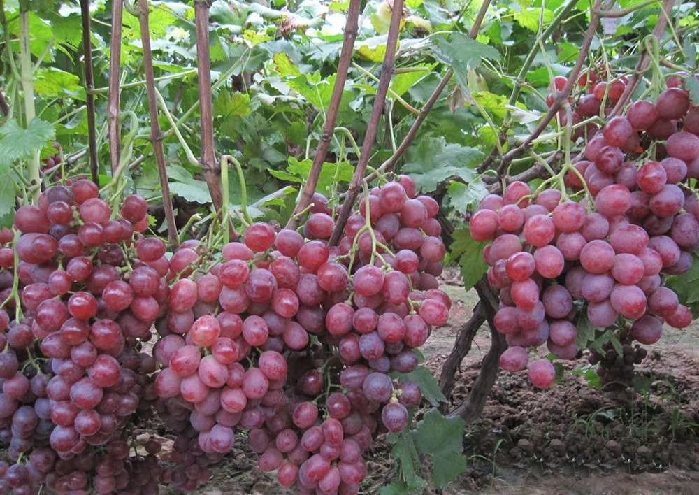 红宝石葡萄苗 致和园艺云南葡萄苗