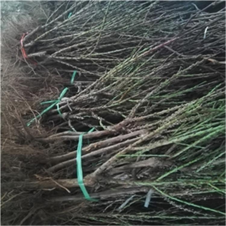 葫芦梨树苗图片 致和园艺梨树苗新品种的好处 亩种植数量
