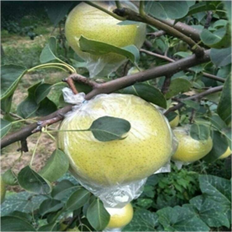 1公分梨树苗 致和园艺优质梨树苗基地 批发商