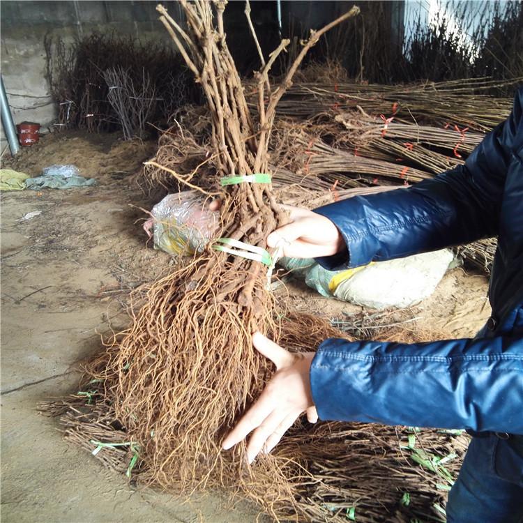 扦插葡萄苗 致和园艺专业葡萄苗新品种