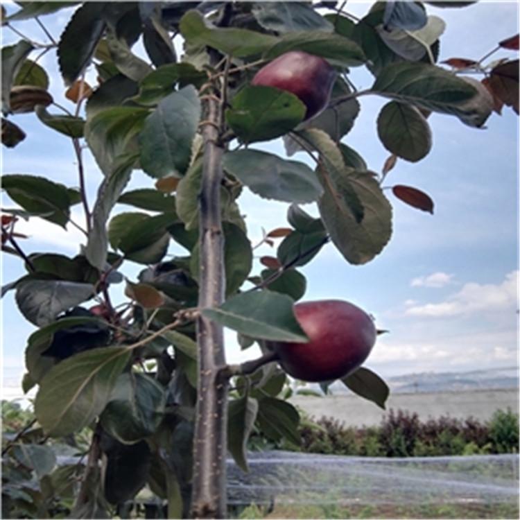 新梨7号树苗 致和园艺鸭梨树苗批发 基地