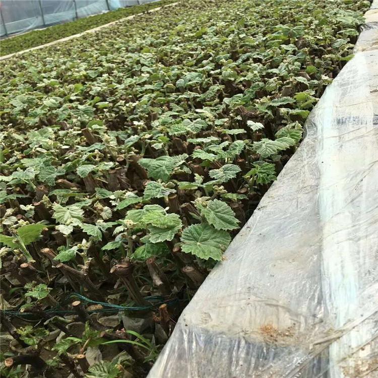 克伦生葡萄苗 致和园艺绿宝石葡萄苗稳产种植技术