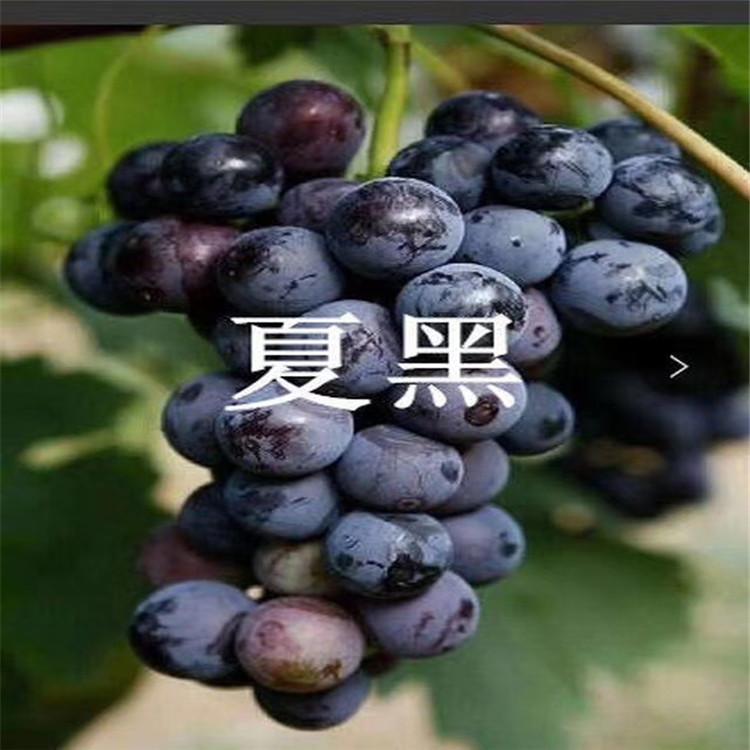 红宝石葡萄苗 致和园艺新品种葡萄苗批发基地
