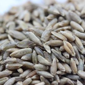 冬牧70种子批发    冬牧70黑麦草种子价格    一斤起发货  量大优惠