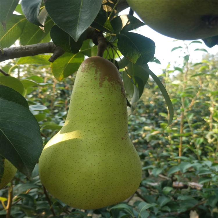 脆冠梨树苗 致和园艺梨树苗批发 果子销售好前景广