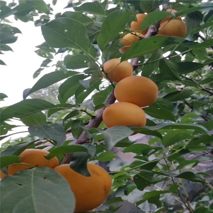 梨树苗两年 致和园艺梨树苗批发价格 一亩地产量