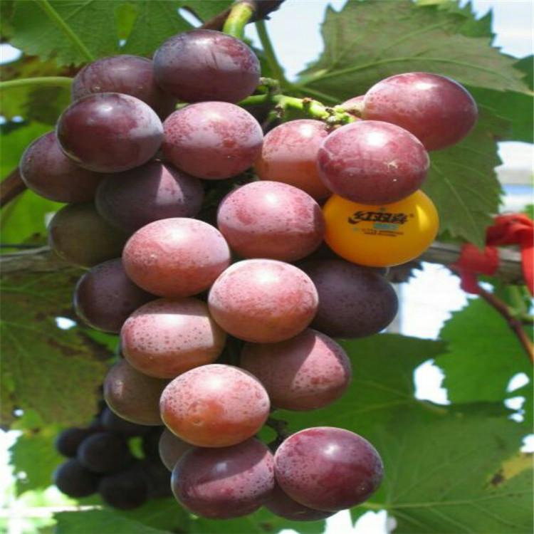 户太八号葡萄苗 致和园艺玫瑰香葡萄苗种植方法