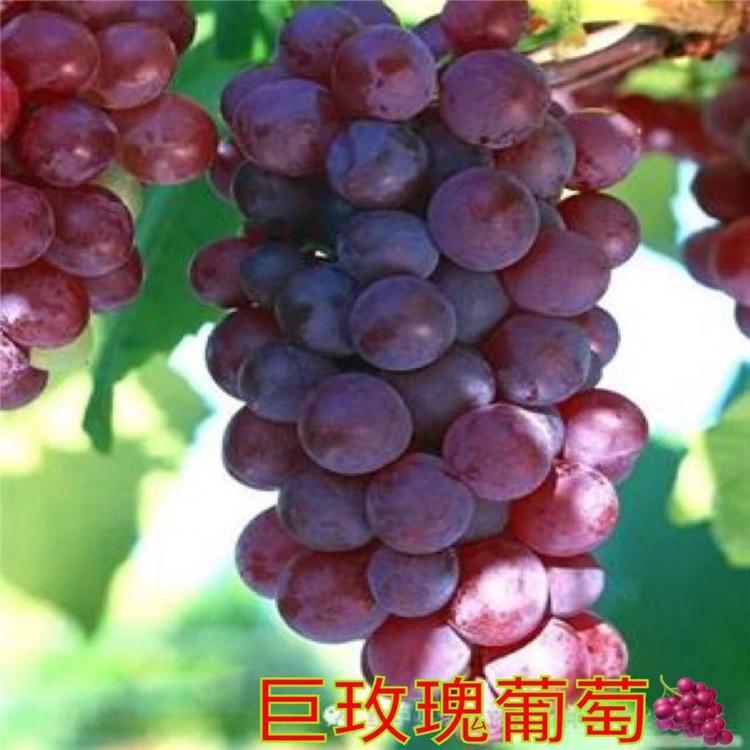 白鸡心葡萄苗 致和园艺甜蜜蓝宝石葡萄苗品种