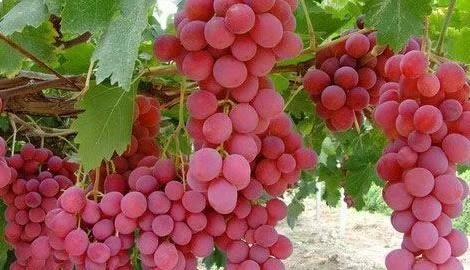 甬优一号葡萄苗 致和园艺优质葡萄苗木